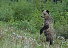Grizzly cub...#15 (Guy Lichter Photography - 4M views Thank you) Tags: beargrizzly canon 5d3 canada alberta kananaskis wildlife animals mammal mammals bear cub