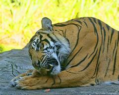 Enjoying a Treat (Harry Rother) Tags: sumatran bigcat endangered