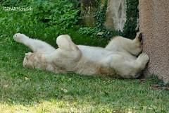 Vera - Charlotte - Eisbären - Tiergarten Nürnberg (ElaNuernberg) Tags: eisbärvera eisbärcharlottealiaslottchen tiergartennürnberg nurembergzoo zoo zooanimals zootiere eisbär ijsbeer isbjorn ourspolaire orsopolare niedźwiedźpolarny jääkaru ursusmaritimus polarbear