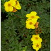 Potentilla fruticosa 'Kobold'