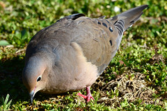 Mourning Dove (Astral Will) Tags: bird dove mourningdove close feeding