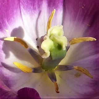 Lisle, IL, Morton Arboretum, Pink Tulip Macro