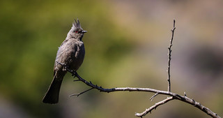 Lady Phainopepla takes a break before chasing off a jay Inceville Los Liones Canyon Los Angeles-096