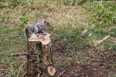 Eastern gray squirrel (Sciurus carolinensis) (RedHotChiliEntzi) Tags: gray squirrel sciurus carolinensis invasive species alien exogenous introduced sciuridae animal mammal mammalia tree trunk wild wildlife photography forest rodent canon canon7d canon7dmark2
