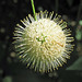 Cephalanthus occidentalis occidentalis (buttonbush) (Newark, Ohio, USA) 4