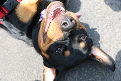 Sunny the Smiling Rottweiler (DerekSteen) Tags: mcnultysicecreamparlor millerplace newyork dog rottweiler sunny smile liict2017 longislandicecreamtour longislandicecreamtour2017 liict