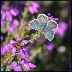 Silver-studded Blue (image 1 of 4) (Full Moon Images) Tags: wildlife nature suffolk insect macro silver studded silverstudded blue butterfly female heather