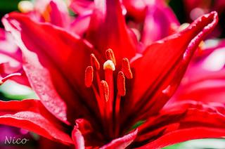 Red lily, stamens & pistil  DSC_2271    Fleur, lis rouge, étamines et pistil