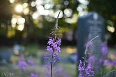 Life amongst Death (D. R. Hill Photography) Tags: willowherb flower flowers plant nature bokeh depthoffield sun sunset nikon nikond750 d750 nikon50mmf14g nikon50mm 50mm primelens fixedfocallength