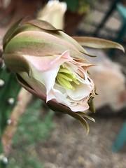 Six Night Blooming Cereus Buds Begin to Open At 4 PM (Chic Bee) Tags: southwesternusa americansouthwest arizona tucson sonorandesert alhambra 4pm beginningtoopen flowerbuds nightbloomingcereus blooming starting opening cactus bud