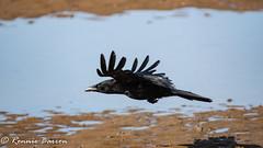 crow landing (RCB4J) Tags: ayrshire clydecoast firthofclyde irvinebeach nature rcb4j ronniebarron scotland sigma150500mmf563dgoshsm sonyilca77m2 art photography wildlife