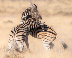 Fighting Zebras (Kitty Kono) Tags: namibia zebras fighting etoshanationalpark kittyrileykono