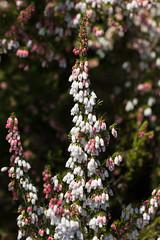 Portuguese Heath (Erica lusitanica) - flower and buds ([S u m m i t] s c a p e) Tags: ericalusitanica portugueseheath spanishheath nativeplants pink weeds white winter ericaceae