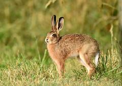 Leveret (George Findlay) Tags: leveret hare ayrshire nikon sigma