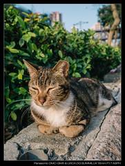 20170404-170904-GM5 (YKevin1979) Tags: cat 貓 lumix gm5 dmcgm5 mft microfourthird 15mm f17 leica15mmf17 leicadgsummilux15mmf17asph summilux leica