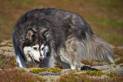 19-july-kotlugengi-patterson_101 (Stefán H. Kristinsson) Tags: dogs hundar hundur playing reykjanes july júlí 2018 nikond800 nikon70200f4 sunny summer