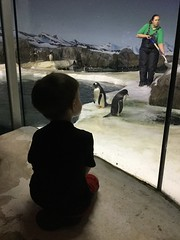 "Paul Watches Penguins at the Kansas City Zoo • <a style=""font-size:0.8em;"" href=""http://www.flickr.com/photos/109120354@N07/29676091878/"" target=""_blank"">View on Flickr</a>"