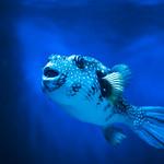 Boxfish (Ostraciidae) of Enoshima Aquarium, Fujisawa : ハコフグ(藤沢市・新江ノ島水族館) thumbnail