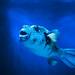 Boxfish (Ostraciidae) of Enoshima Aquarium, Fujisawa : ハコフグ(藤沢市・新江ノ島水族館)