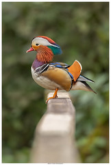 The Male Mandarin Duck (Brian P Slade Photography) Tags: mandarin duck male birds bird birdwatching top20birdshots colourful colour wildlife wildlifephotography ukwildlife fantasticwildlife uk naturephotography nature berkshire berkshirebirds reading brianpsladephotography brianpslade canonphotography canon sigma sigmasports 5d 5dmkiv 150600mm border animals animalplanet animalportraits mammals