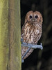 It was a night for Owls on Telegraph poles tonight! (ukmjk) Tags: tawny owl telegraph pole north staffordshire stoke nikon nikkor d500 300mm pf vr sb900