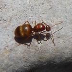 Winter Ant thumbnail
