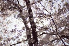Washington No 2 (• CHRISTIAN •) Tags: washington dc étatsunis unitedstates us usa capital cerisier cherryblossom nature lumière light pdc dof 50mm f14