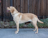 Tupelo side (Guide Dogs for the Blind) Tags: breeder brood