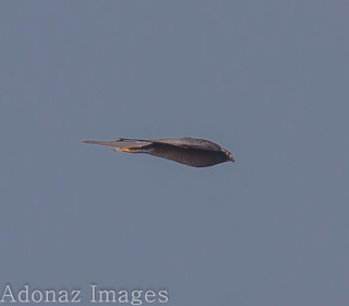 Collared Sparrowhawk ( Accipiter Cirrocephalus) - in high speed descent  - 3 of 3