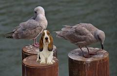 Puppy Dog Eyes (Scott 97006) Tags: gulls seagull birds pylon water dog canine animal cute