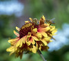 Beeutiful Bounty (charles25001) Tags: bees honeybees honeybee insect nature