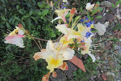 Pretty flowers (*SHERWOOD*) Tags: france vendée larochesuryon home garden