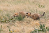 Playing keep-away with the food (TonysTakes) Tags: fox redfox kit foxkit weldcounty wildlife colorado coloradowildlife