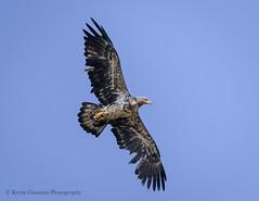 Immature Bald Eagle (Kevin James54) Tags: baldeagle haliaeetusleucocephalus lakegalena nikond850 peacevalleypark tamron150600mm animals avian bird immature kevingianniniphotocom