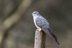 Just arrived (pstani) Tags: countrypark cuculuscanorus england europe greatbritain suffolk weststow weststowcountrypark bird commoncuckoo cuckoo fauna