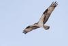Osprey-48452.jpg (Mully410 * Images) Tags: avian birding osprey coonrapidsdam birdsinflight nationalpark birdsofprey birder bird birdwatching raptor mississippinationalriverrecreationarea birds