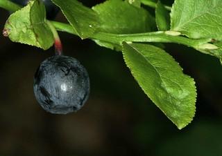 La prunelle, fruit de Prunus spinosa, le prunellier.
