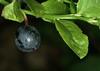 La prunelle, fruit de Prunus spinosa, le prunellier. (chug14) Tags: plantae plante fruit baie prunelle prunellier rosaceae prunusspinosa