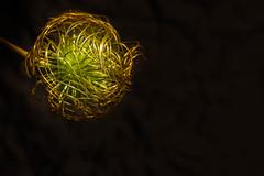 clématite (heiserge) Tags: france clematis macro ogy clématite nature moselle europe lorraine fleurs macrophotographie