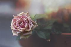 with grace (rockinmonique) Tags: flower bloom blossom rose petals pottedplant onthedeck dof bokeh macro light pink green moniquewphotography canon canont6s tamron tamron45mm copyright2018moniquewphotography