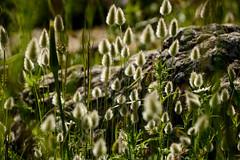 Living in the light ... (Raquel Borrrero) Tags: plant planta hierba luz sun light bright sunlight