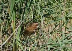 Bittern (yvonnepay615) Tags: panasonic lumix gh4 nature bird bittern rspb lakenheathfen suffolk eastanglia uk