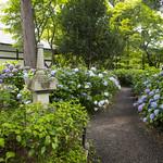 Hydrangea Garden アジサイ園 thumbnail