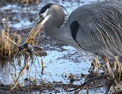 Skewered (TW Olympia) Tags: great blue heron nisqually national wildlife refuge frog eating marsh