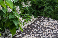 20180624 Roof covered with Catalpa flowerets (tulak56) Tags: catalpa flower backyard 2018
