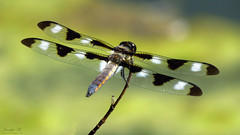 Twelve-spotted Skimmer IMG_6017 (Jennz World) Tags: ©jennifermlivick mtpleasantnaturepark mtpleasant ontario canada dragonfly damselfly