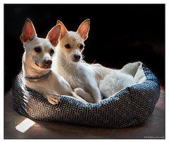 Jazz and Maggie - Two Peas in a Pod (GAPHIKER) Tags: jazz maggie chihuahua chinesecrested corgi mix littledoglaughedstories