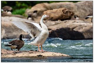 Leucistic Canada Goose DSC_1286