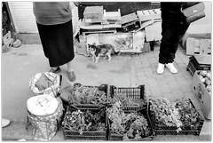 A three-colored pussycat. (Ігор Кириловський) Tags: threecolored pussycat 135 35mm bw kyrylovskyy kirilovskiyigor kobylyanskoistr herrengasse chernivtsi ukraine slr minoltadynax404si minolta maxxum af28mmf28 film kodak100tmax rodenstockyellowmedium8 markstudiolab