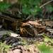 Caprimulgus macrurus, Large-tailed nightjar - Kaeng Krachan National Park